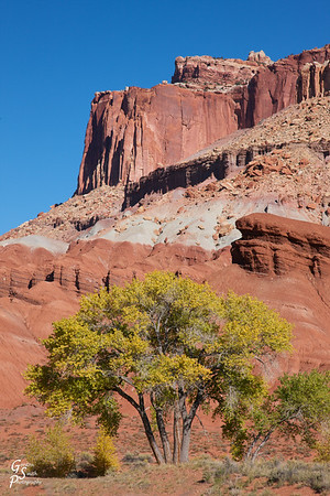 Yellow Cottonwoods and Red Cliffs