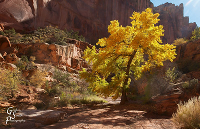 Cottonwood in Spring Canyon
