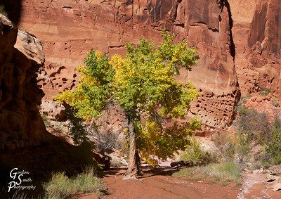 Cottonwood Tree in Wash