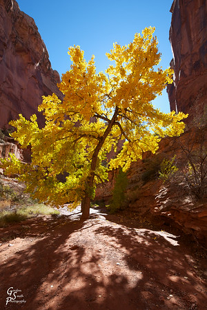 Glory Tree of Spring Canyon