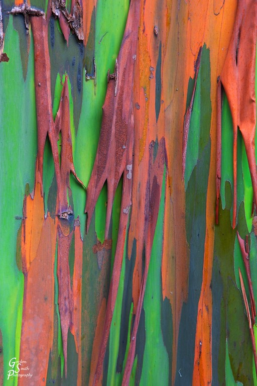 detailed bark on rainbow eucalyptus tree
