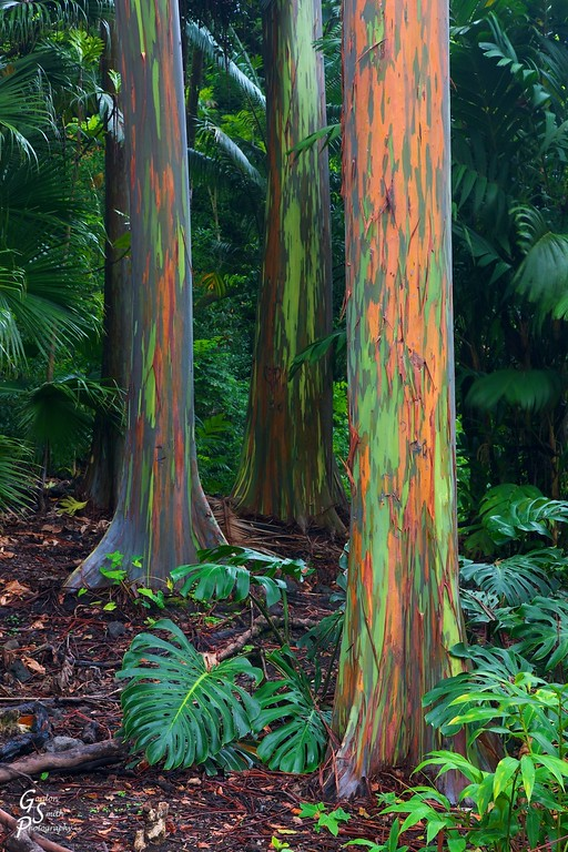 rainbow eucalyptus trees