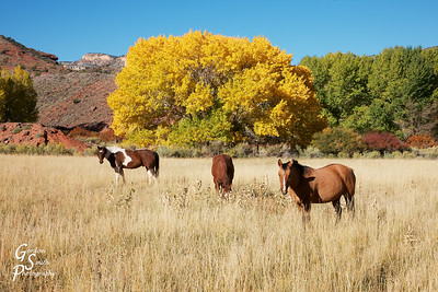 Capitol Reef Horses in Field