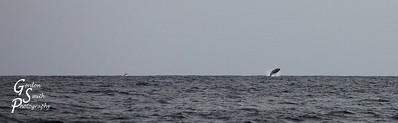 Humpback Whale Full Breach