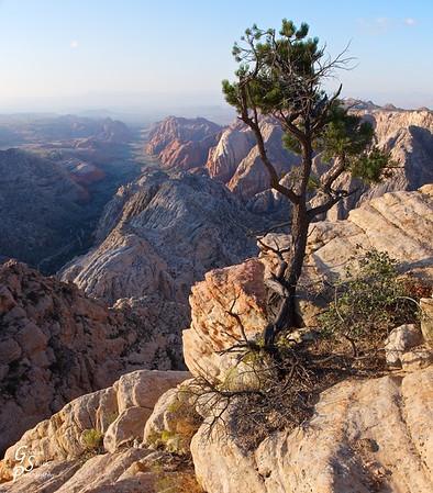 Pine over Snow Canyon